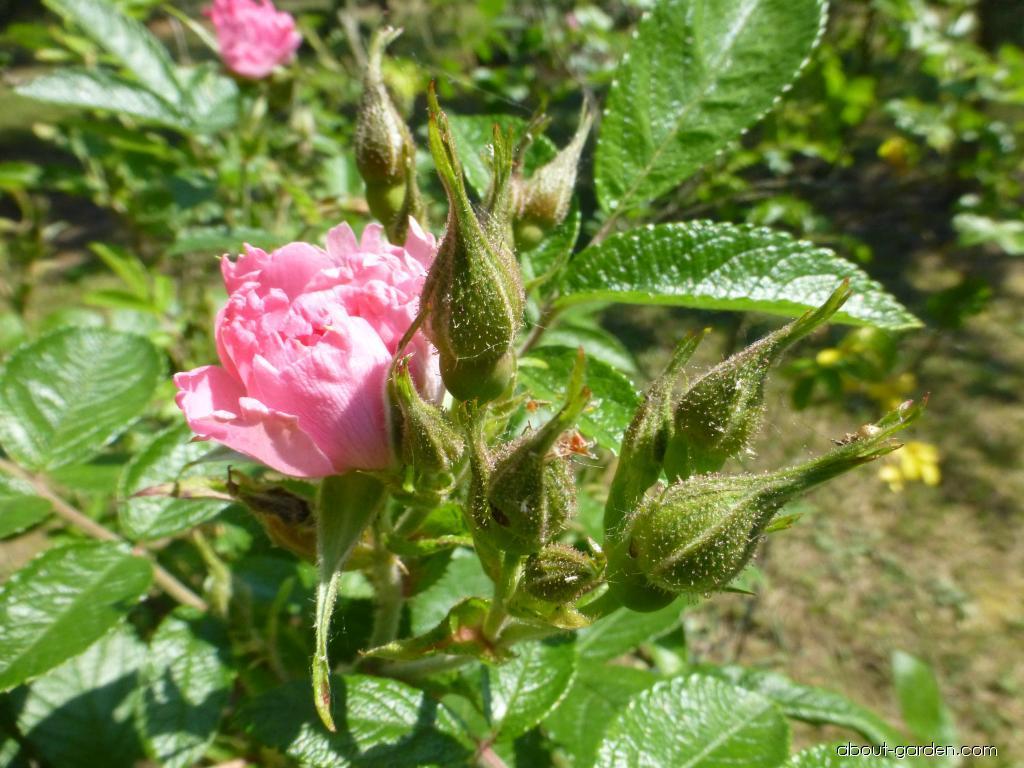 Růže svraskalá Pink Grootendorst (Rosa rugosa)