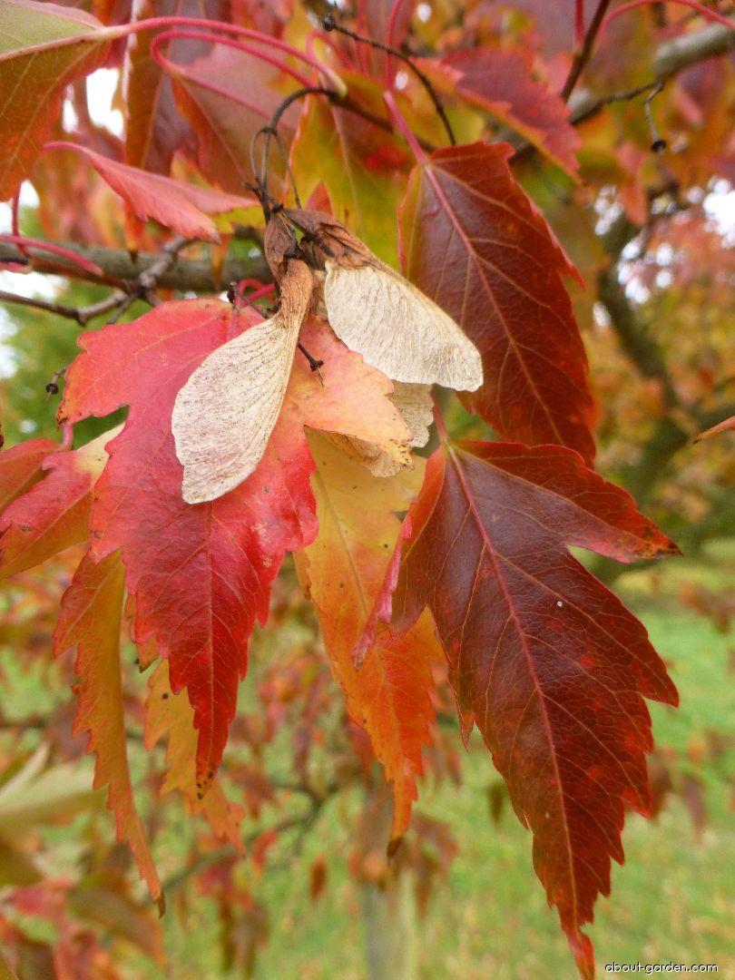 Javor amurský - podzimní list a plod (Acer ginnala)