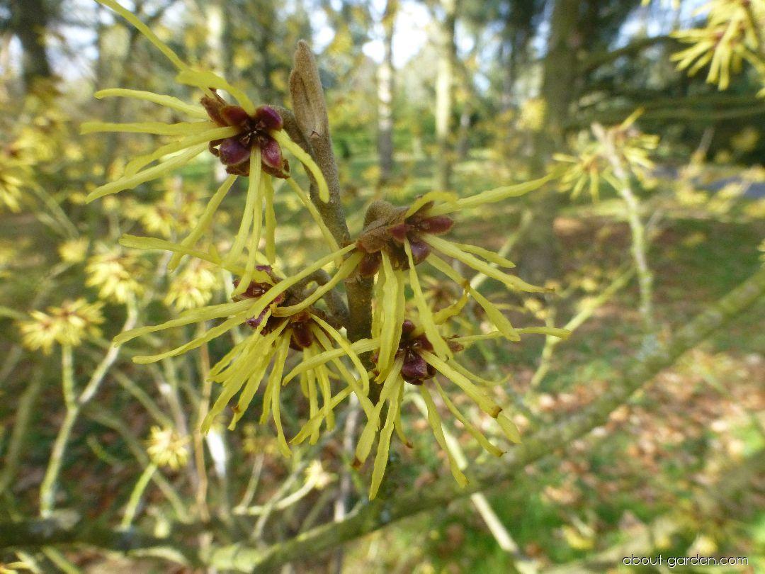 Hybrid Witch Hazel - Hamamelis x intermedia Westerstede