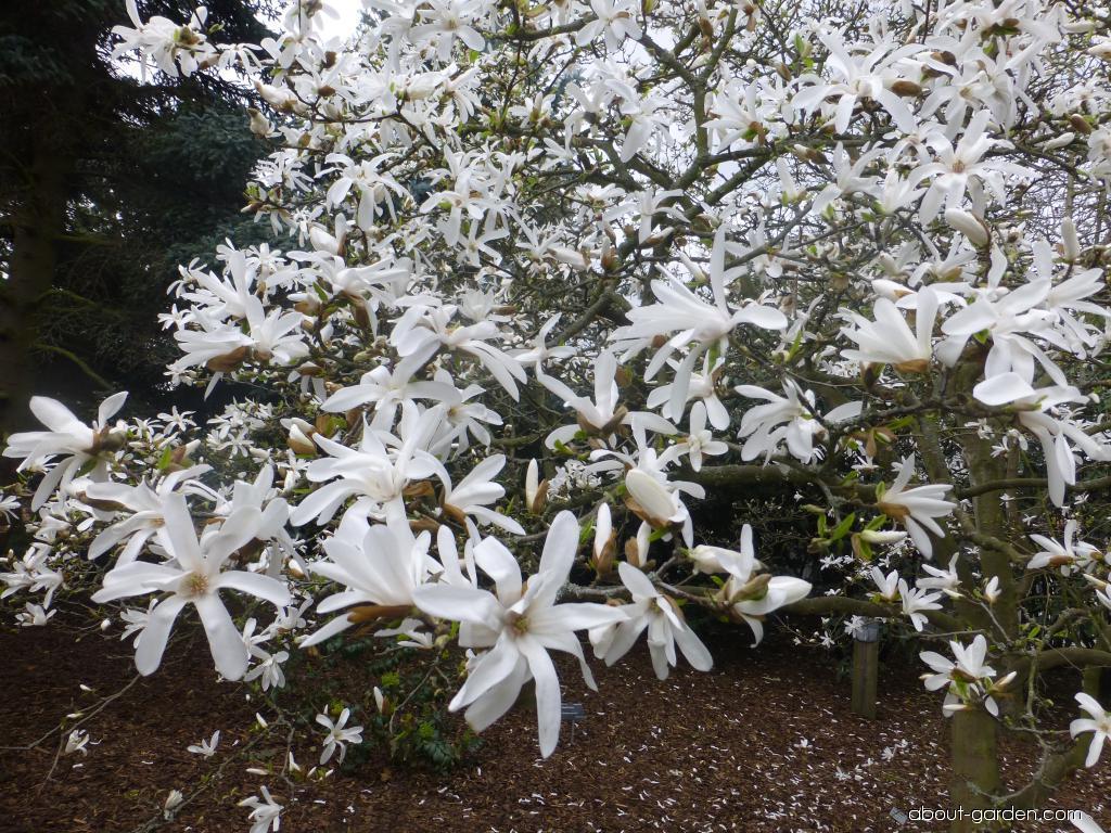 Japanese Magnolia - Magnolia kobus