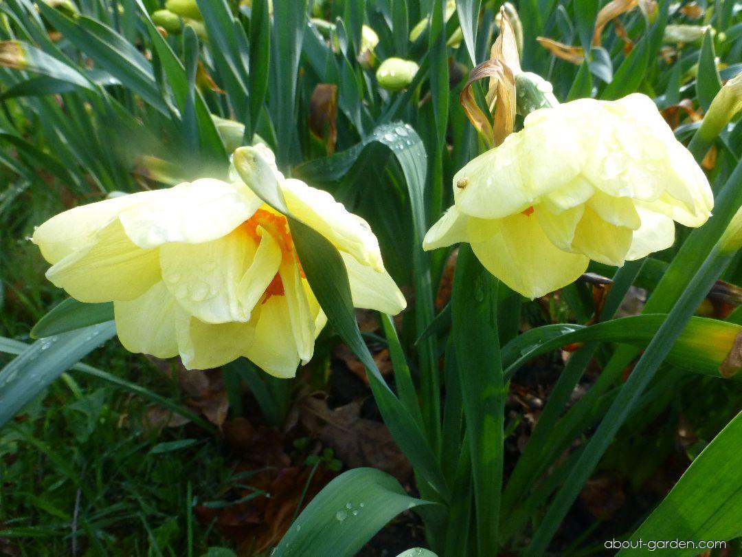 Daffodil - Narcissus Double Fashion