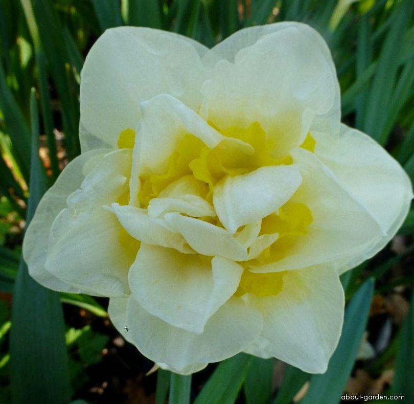 Daffodil - Narcissus Unique