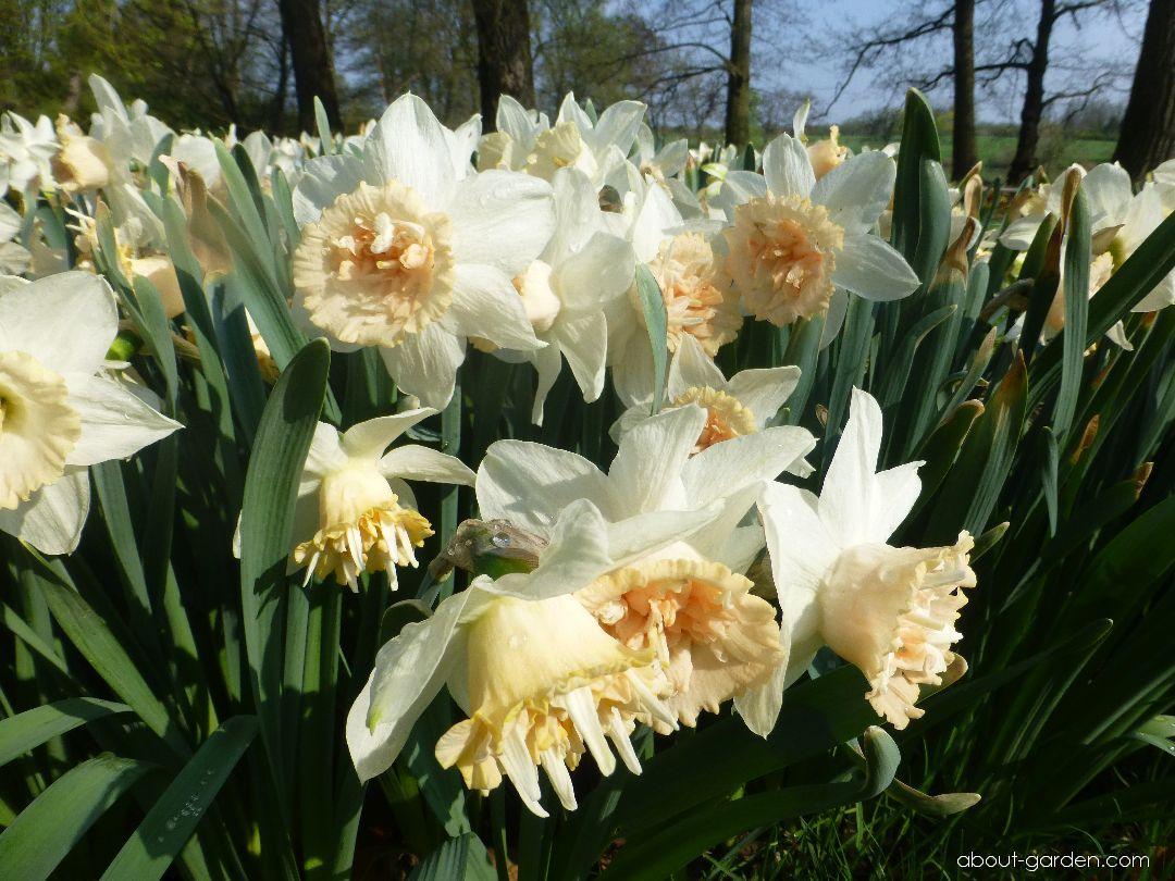 Daffodil - Narcissus Petit Four