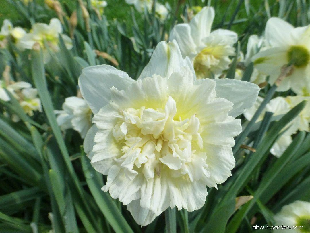 Daffodil - Narcissus Ice King