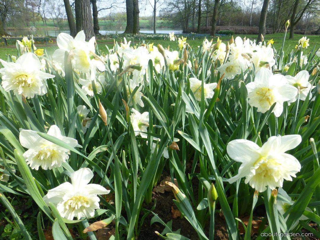 Narcissus Ice King (Daffodil)
