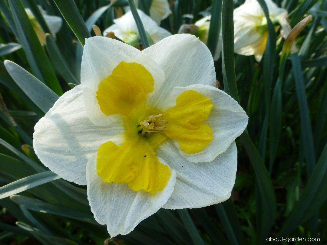 Narcis zahradní Tricolet (Narcissus x hybridus)