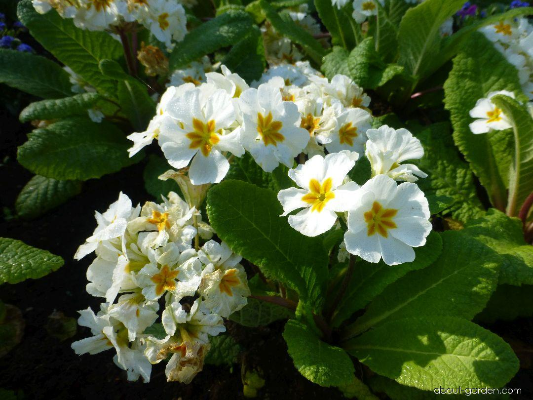 Prvosenka You and Me White (Primula x polyantha)