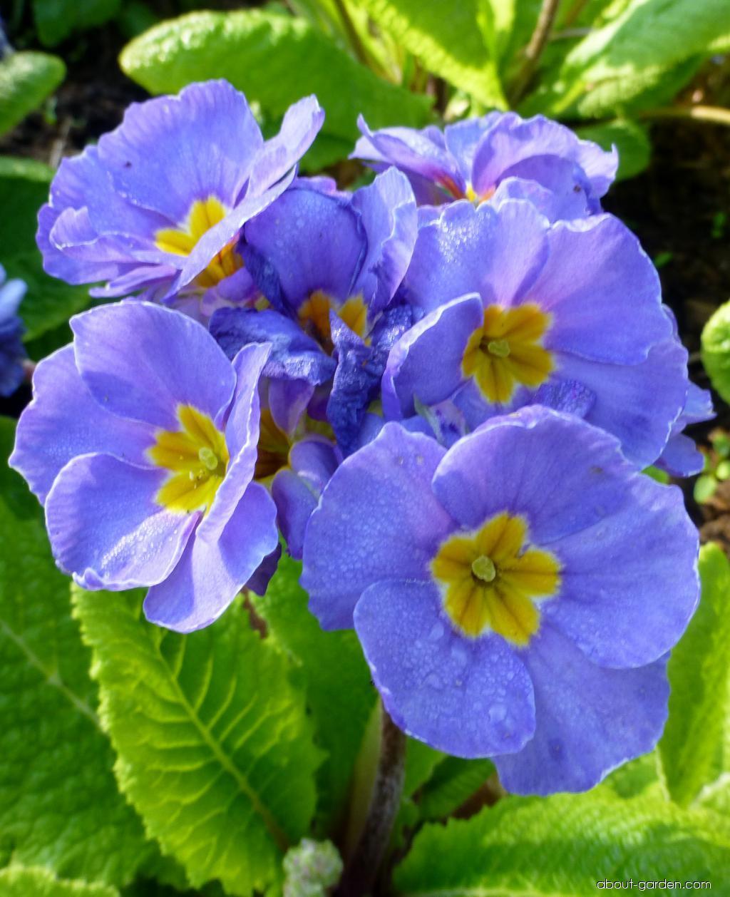 Polyanthus Primrose - Primula x polyantha You and Me Denim