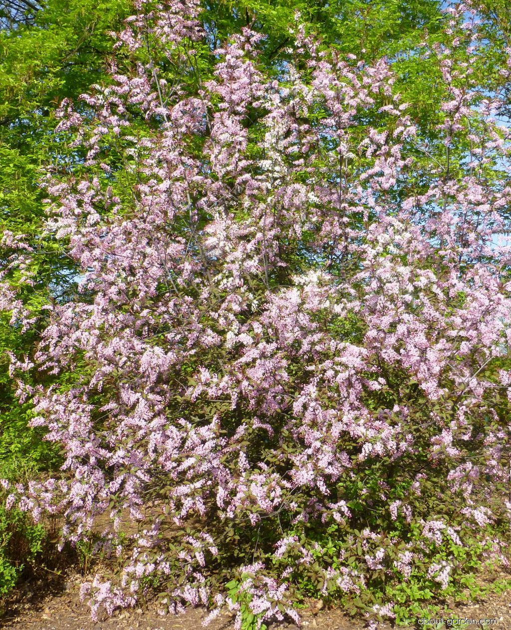 Střemcha obecná Colorata - habitus v květu (Prunus padus)