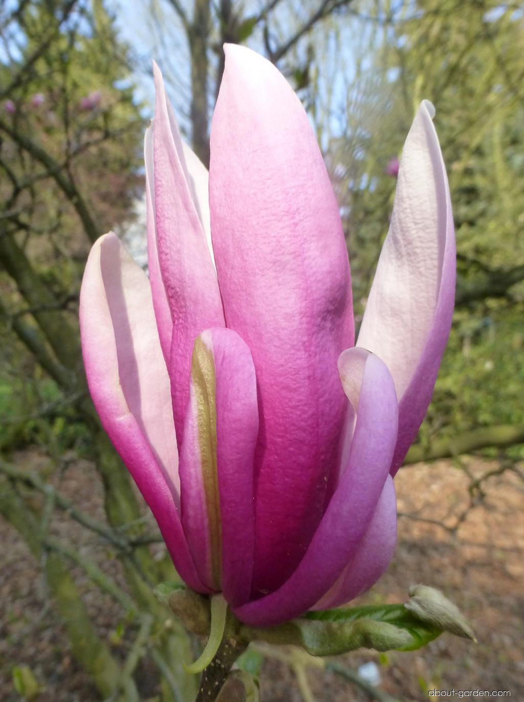 Magnolia - Magnolia Susan