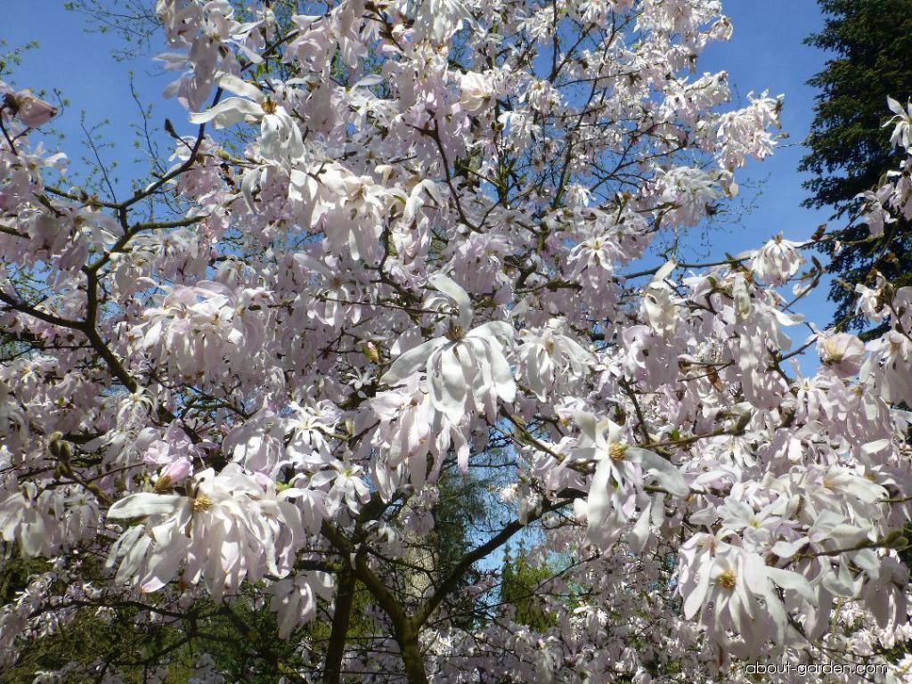 Star Magnolia - Magnolia stellata Rosea