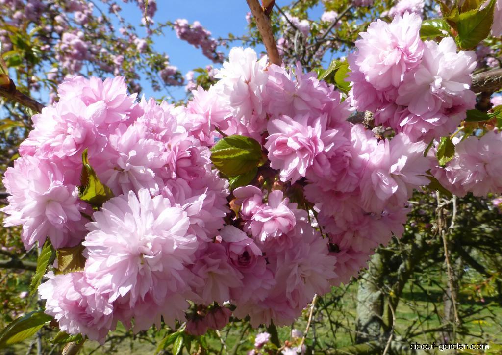 Japanese Cherry - Prunus serrulata Kiku-Shidare