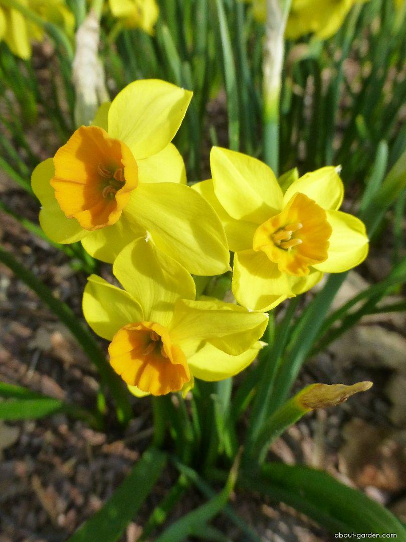 Daffodil - Narcissus Falconet