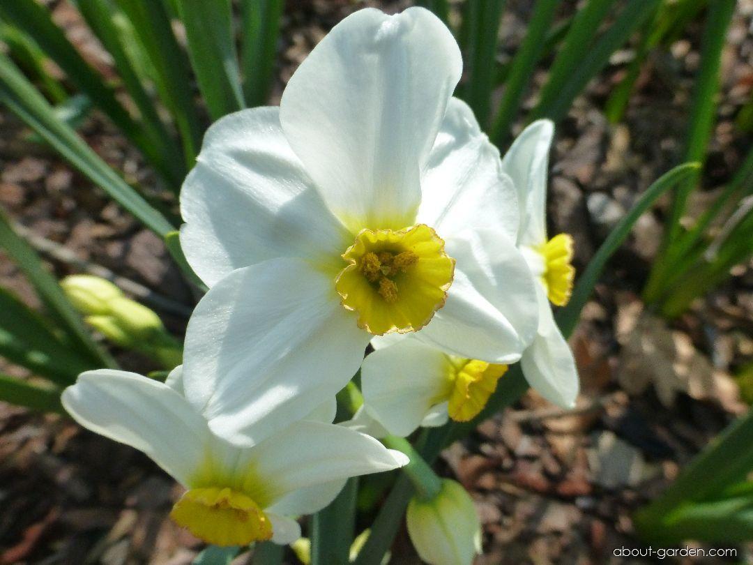 Narcis Aspasia - květ (Narcissus x hybridus)