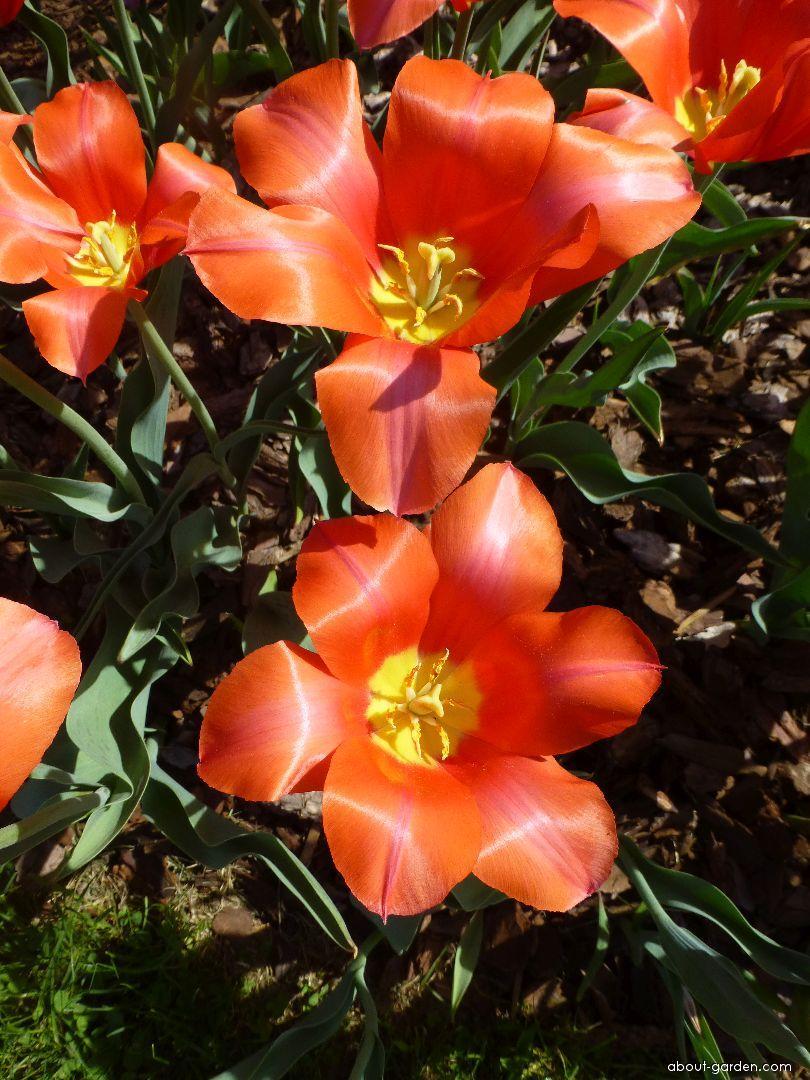 Tulip - Tulipa Temple s Favourite