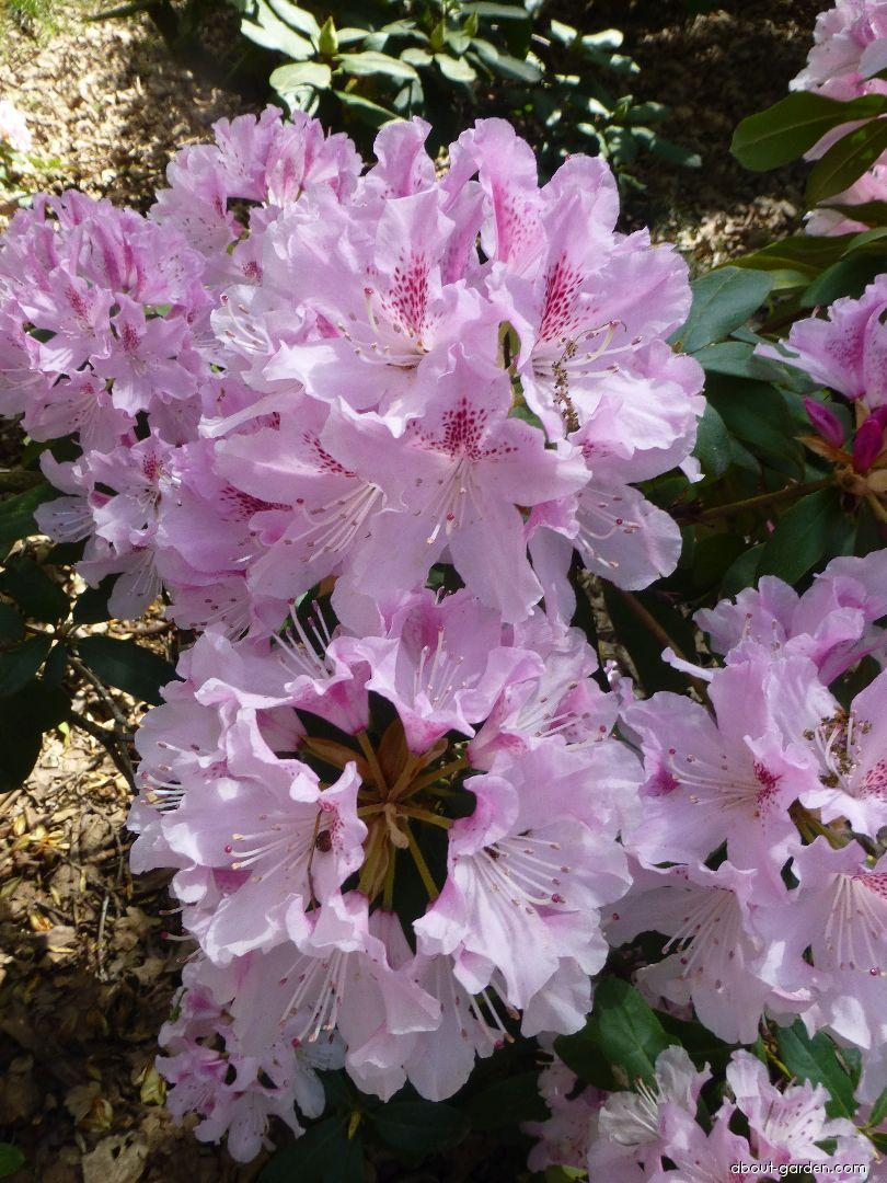 Rhododendron - Rhododendron Cheer