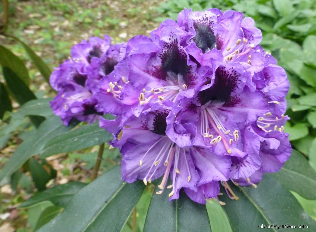 Rhododendron - Rhododendron Blue Jungs