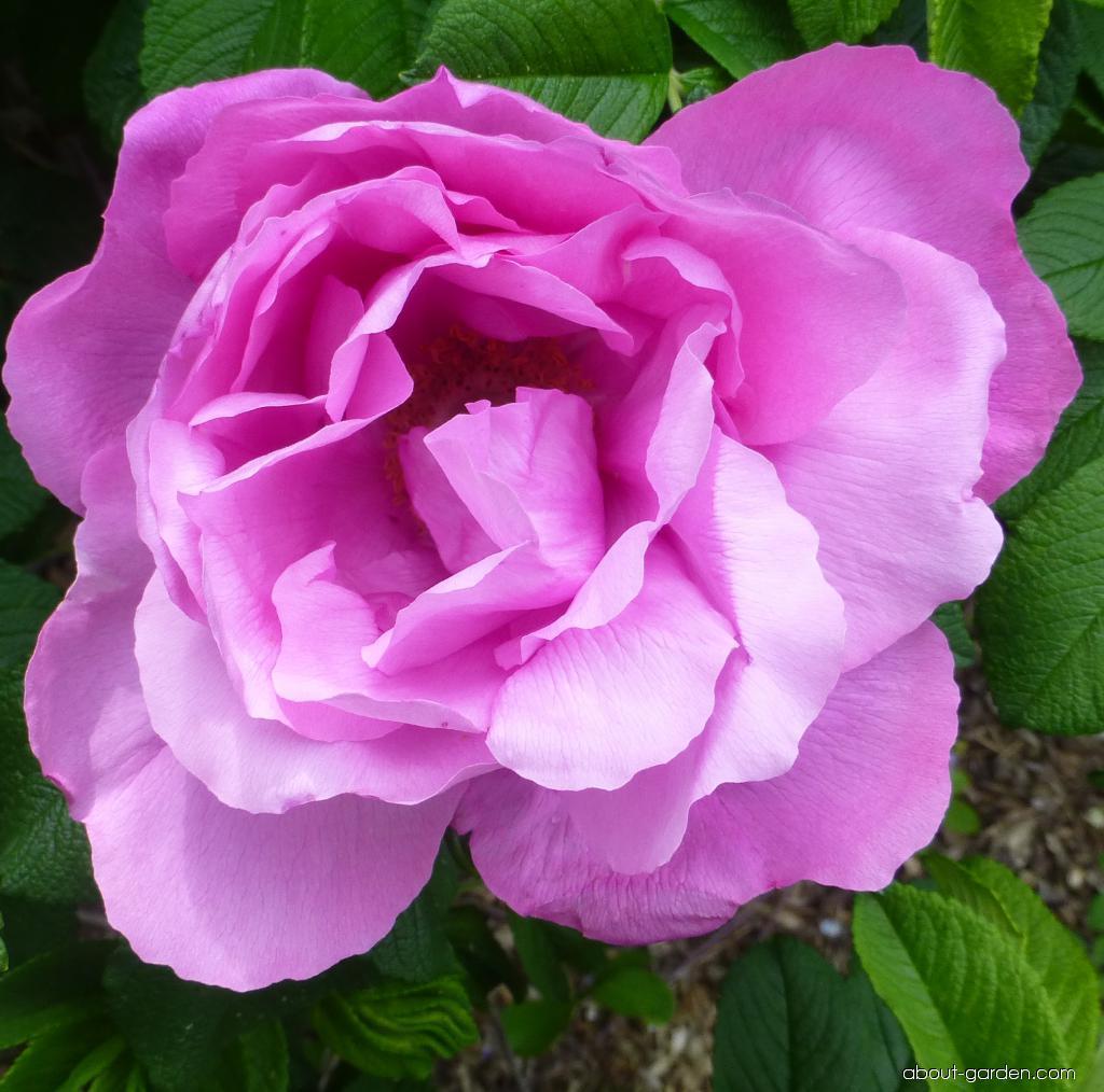 Japanese rose - Rosa rugosa Foxi