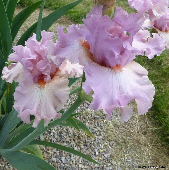 Bearded Iris - Iris barbata Albachiara