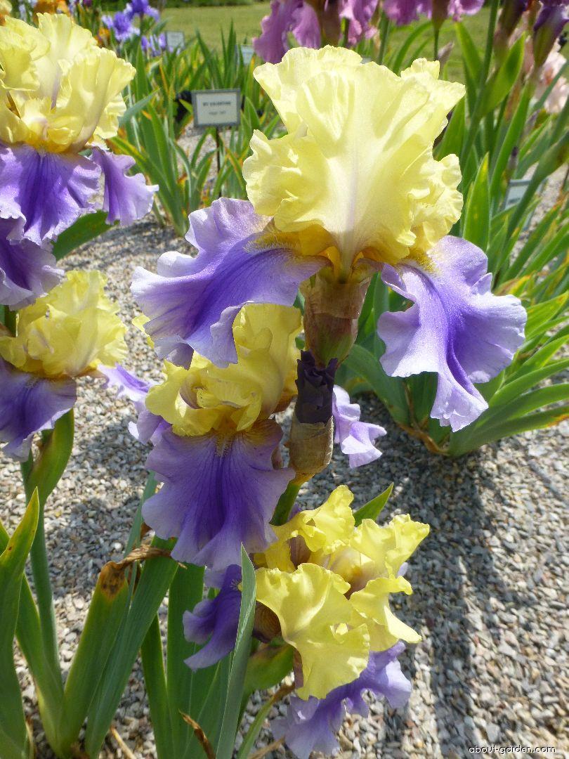 Bearded Iris - Iris barbata Edith Wolford
