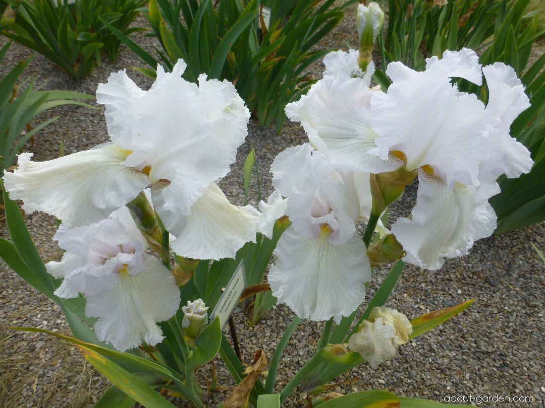 Iris barbata Carrara Lace (Bearded Iris)