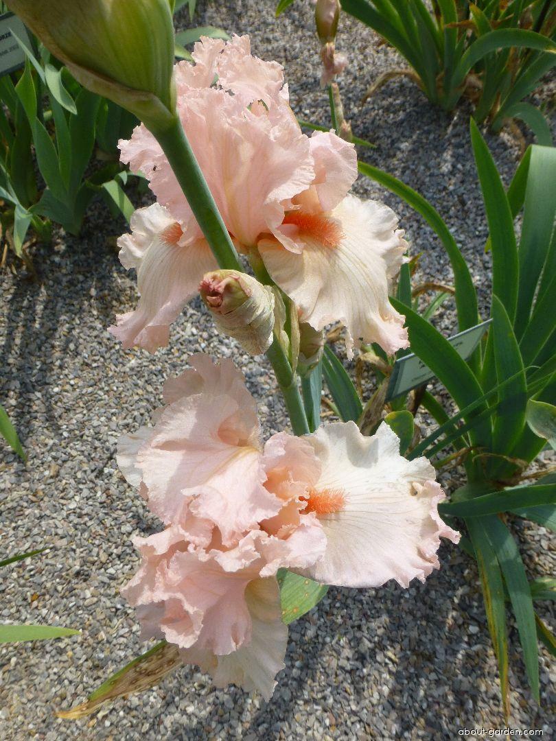 Bearded Iris - Iris barbata Lady Gretl Armitage