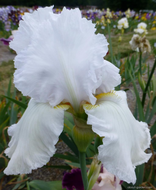 Bearded Iris - Iris barbata Lacy Snowflake