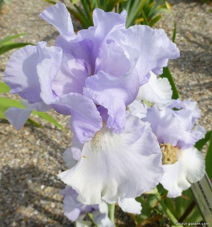 Bearded Iris - Iris barbata All American