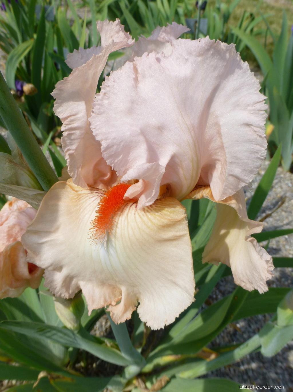 Bearded Iris - Iris barbata Alessandra