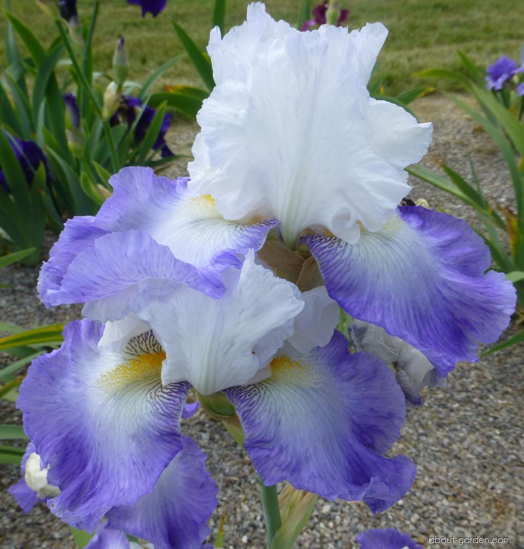 Bearded Iris - Iris barbata Alizés