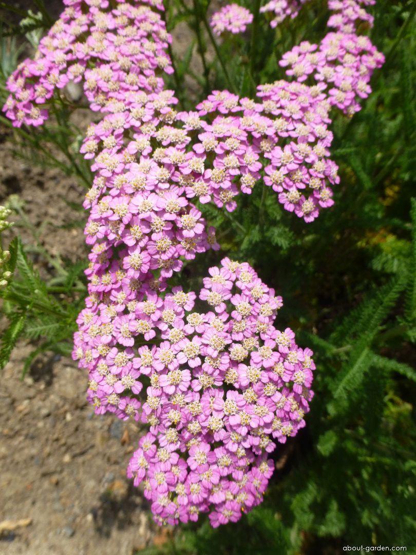 Yarrow - Achillea millefolium Pretty Belinda