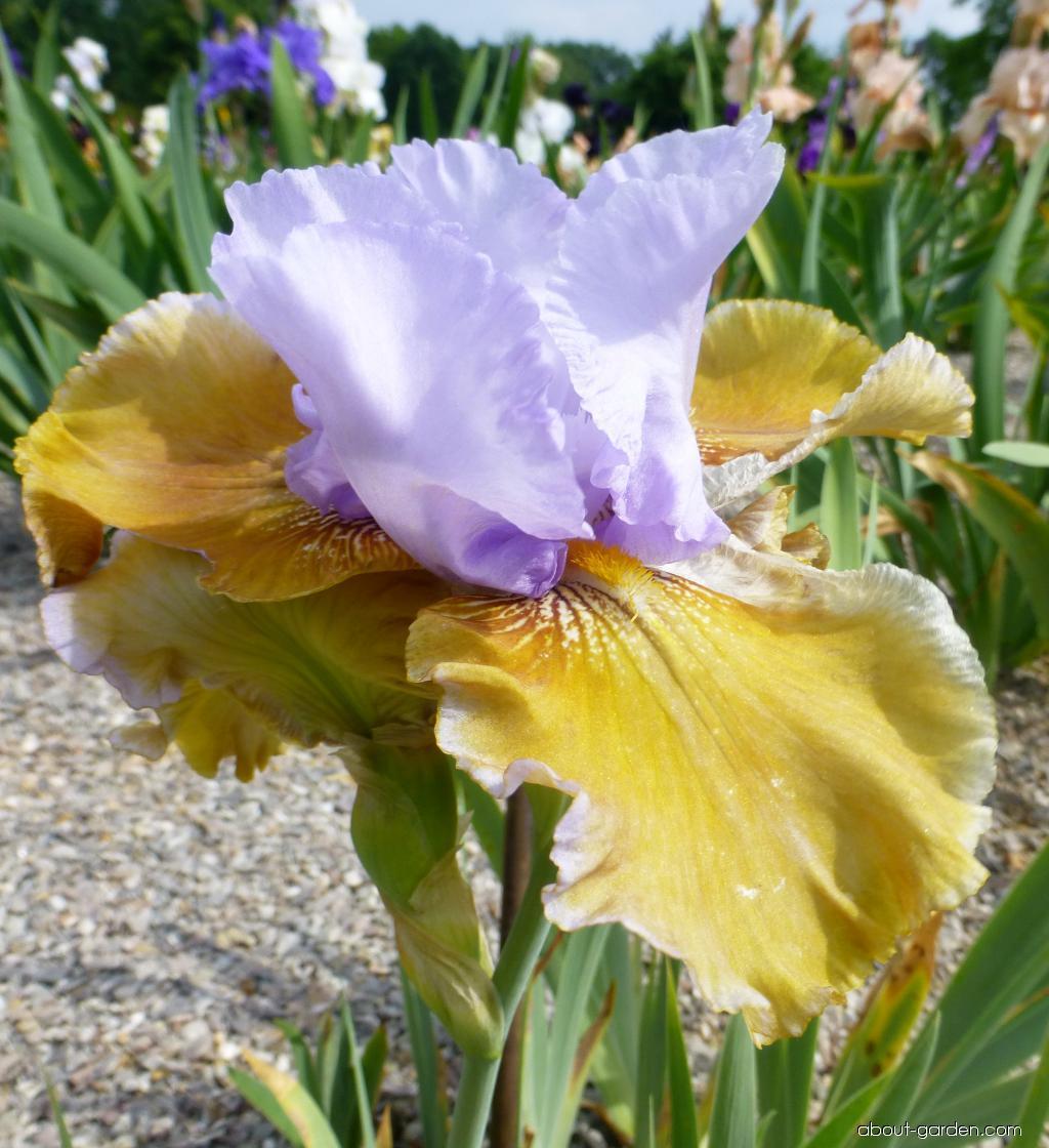 Bearded Iris - Iris barbata Affaire