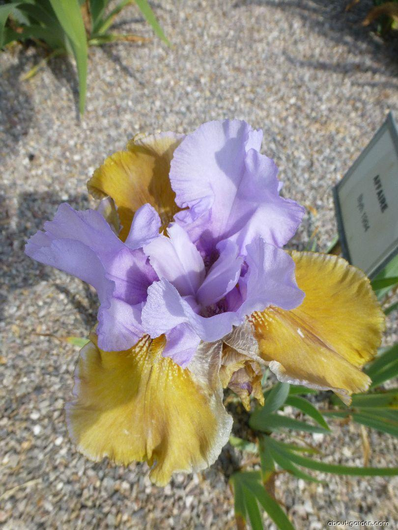 Bearded Iris - Iris barbata Affaire