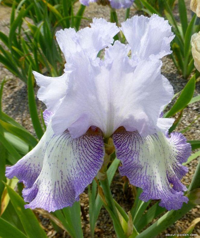 Bearded Iris - Iris barbata Acoma