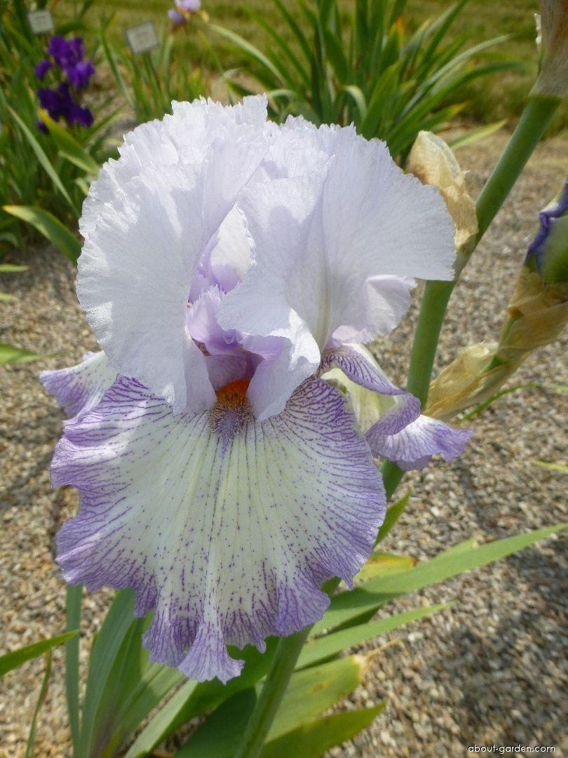 Bearded Iris - Iris barbata Acoma