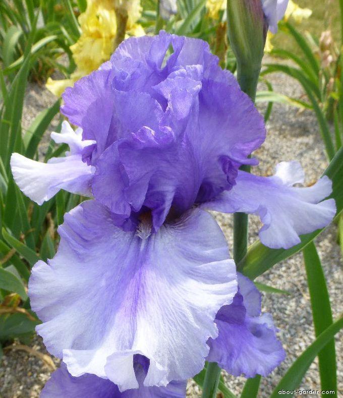 Bearded Iris - Iris barbata Andrus