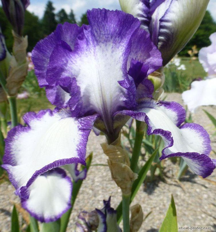 Bearded Iris - Iris barbata Aegean Star