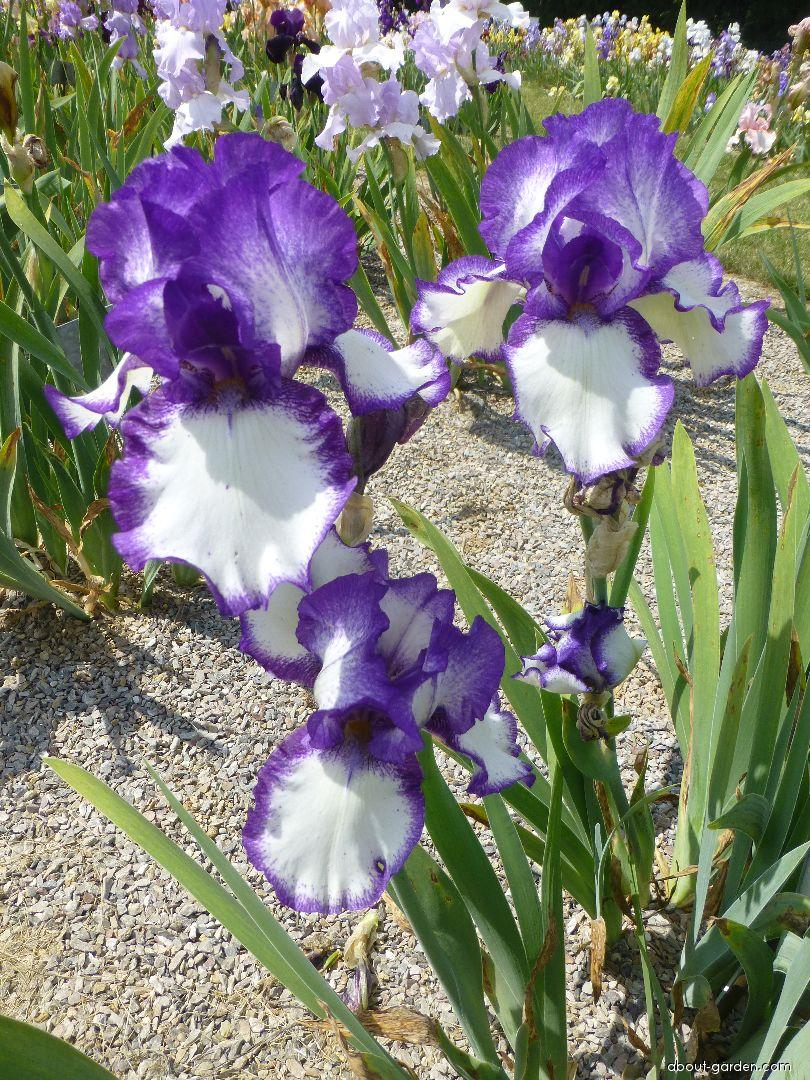 Bearded Iris - Iris barbata Aegean Star