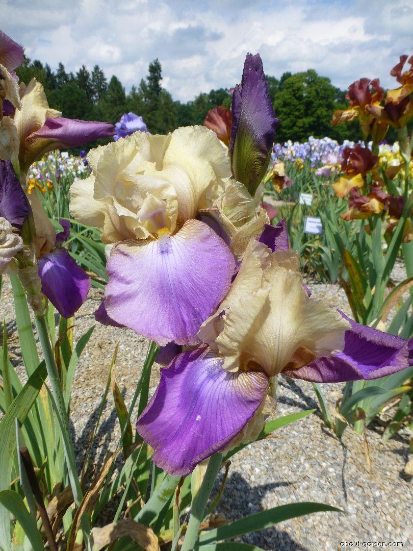 Bearded Iris - Iris barbata Amigo s Guitar