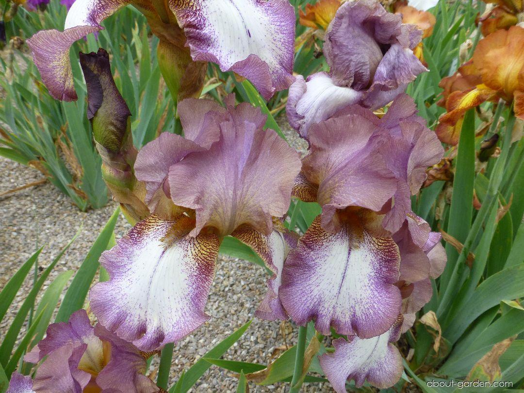 Bearded Iris - Iris barbata Alena