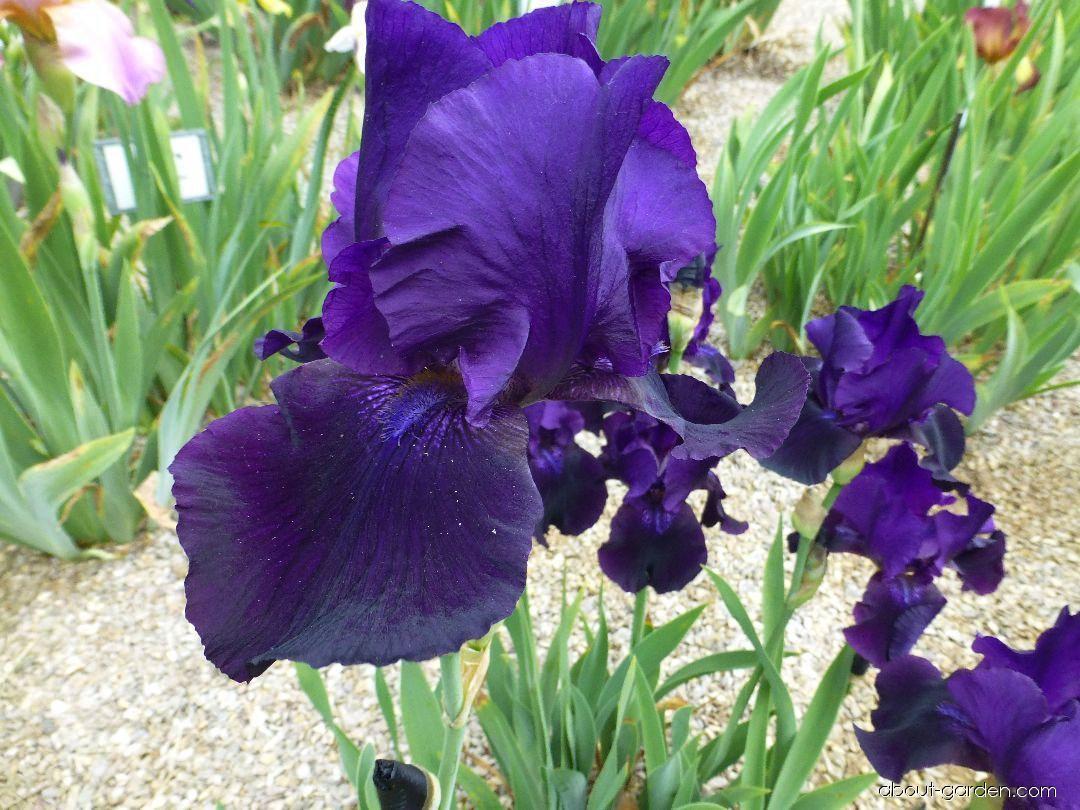 Photo bearded iris black taffeta about garden iris barbata black taffeta bearded iris flowers izmirmasajfo