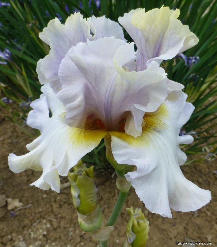 Bearded Iris - Iris barbata Zielona Gora