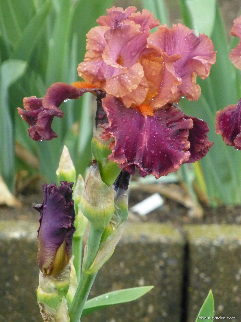 Bearded Iris - Iris barbata Impressionist
