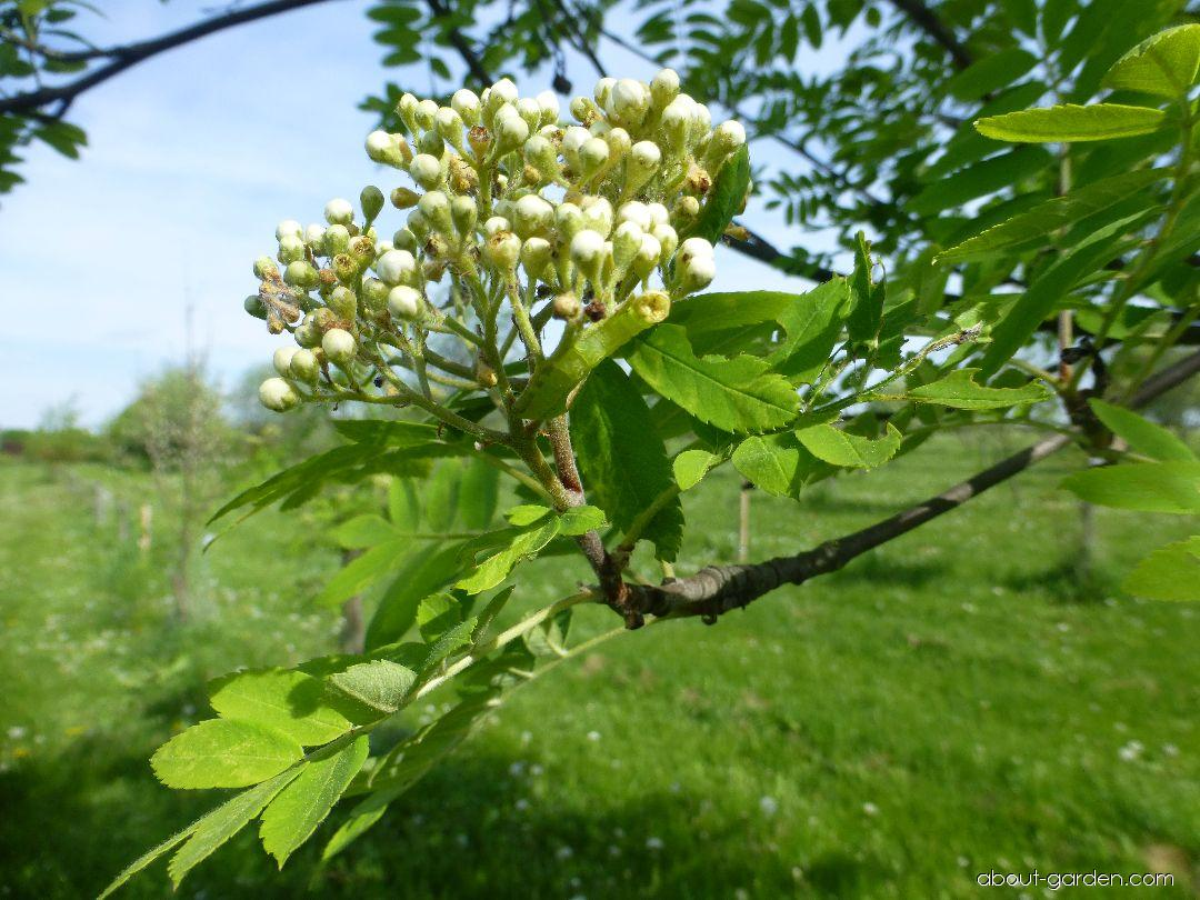 European mountain ash - Sorbus aucuparia Edulis