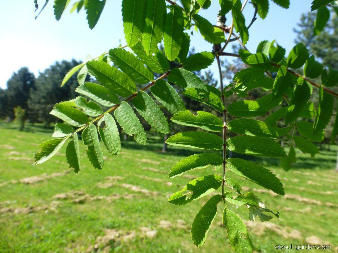European mountain ash - Sorbus aucuparia Cardinal Royal