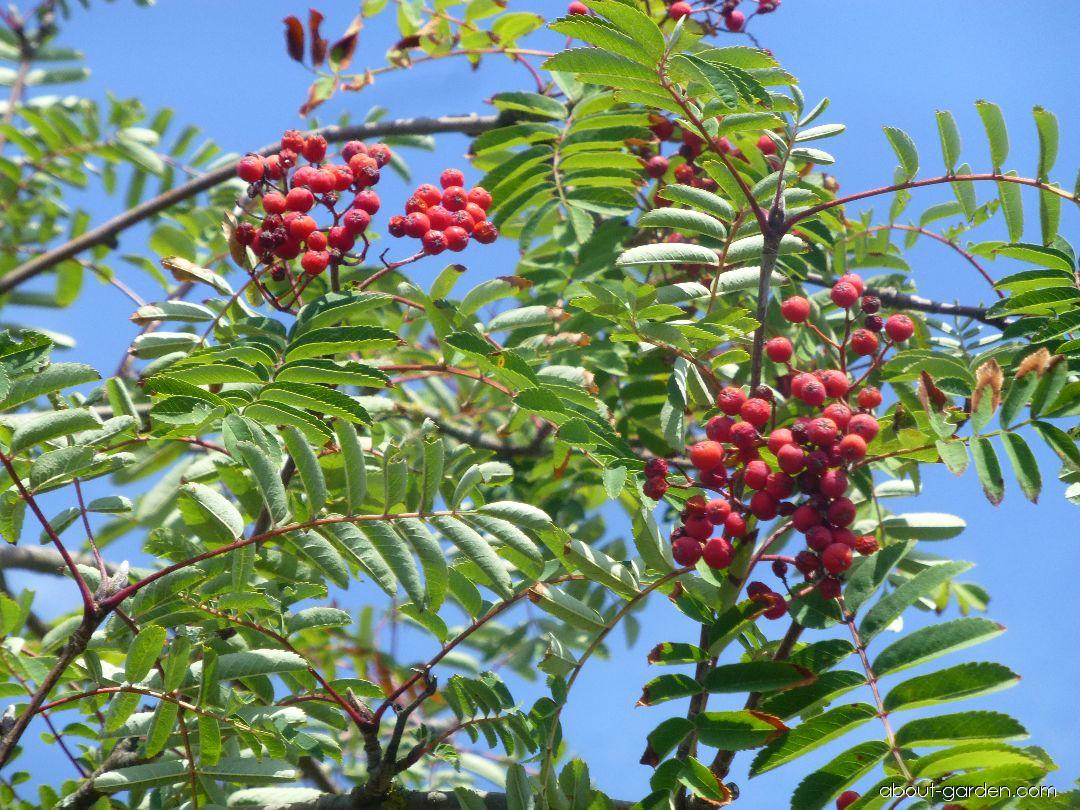 European mountain ash - Sorbus aucuparia Cardinal Royal
