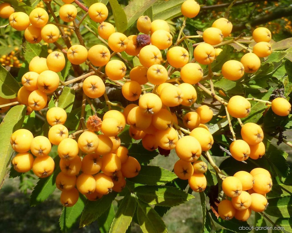 Jeřáb Upright Yellow - větévka s plody (Sorbus hybrida)