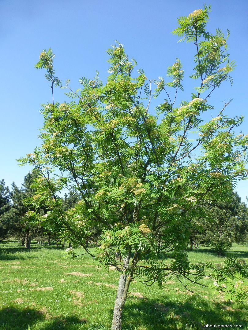 Jeřáb Upright Yellow - habitus v květu (Sorbus hybrida)