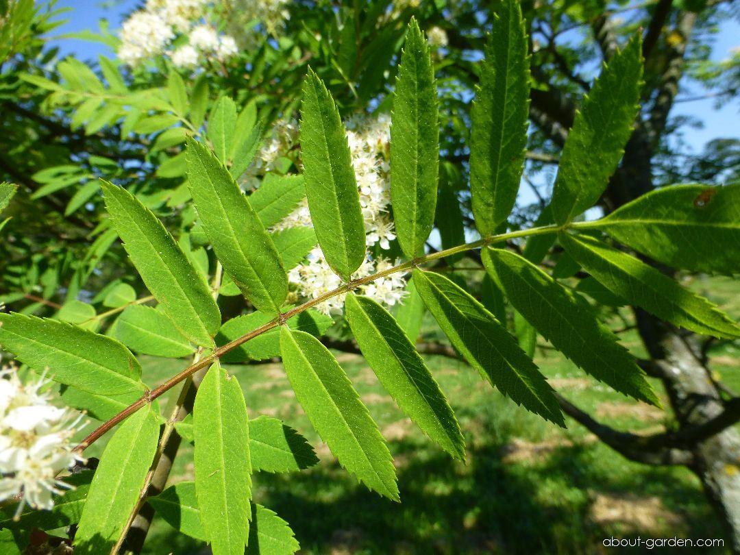 Jeřáb Upright Yellow - list (Sorbus hybrida)