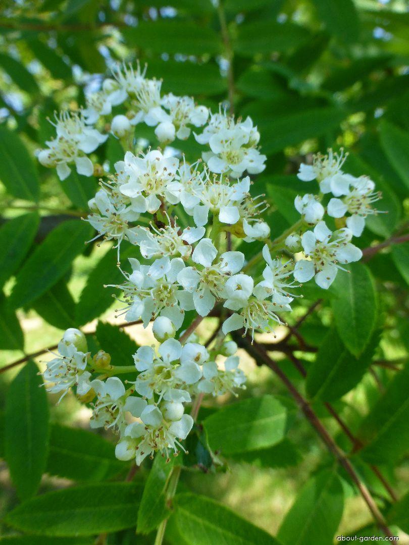Jeřáb Upright Yellow - větévka s květem (Sorbus hybrida)
